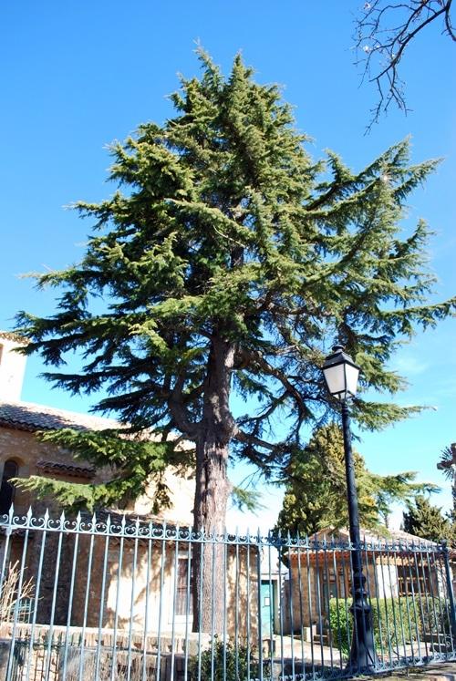Le cèdre bientôt abattu dans le jardin du calvaire de Rennes-le-Château
